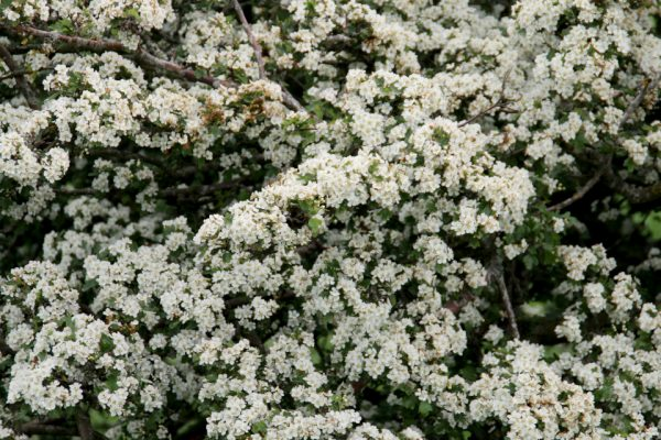 Боярышник обыкновенный, Crataegus laevigata 4jun17 aarhus www.florapassionis.com