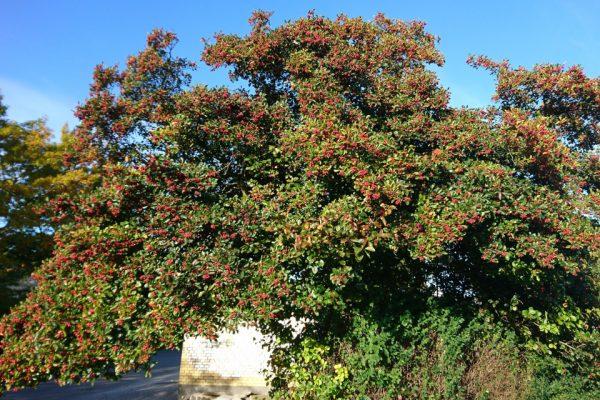 Боярышник обыкновенный, Crataegus laevigata Aarhus Riiskov 11okt17 www.florapassionis.com