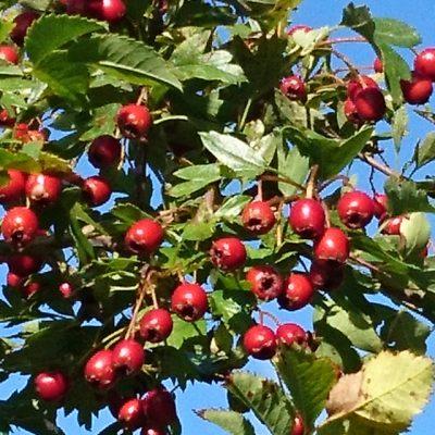 Боярышник однопестичный, Crataegus monogyna 150917 holme www.florapassionis.com