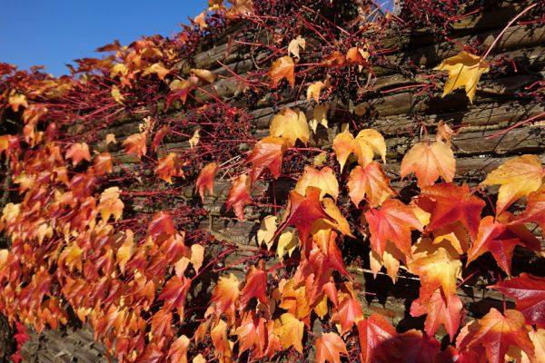 Виноград девичий триостренный Parthenocissus tricuspidata 151018 www.florapassionis.com