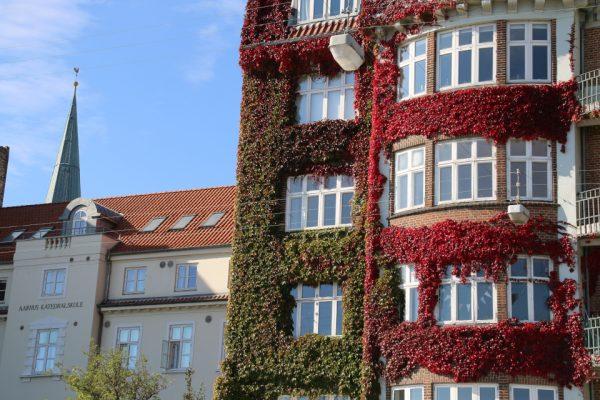 Виноград девичий триостренный Parthenocissus tricuspidata 30sept15 Aarhus www.florapassionis.com