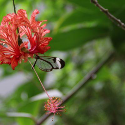 Гибискус шизопеталус Hibiscus schizopetalus 12mar18 bothavaar www.florapassionis.com