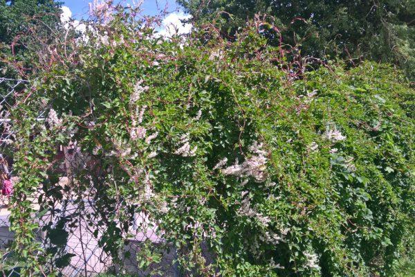 Горец бальджуанский, или гречишка бальджуанская Fallopia baldschuanica, Polygonum baldschuanicum 4jul17 viby www.florapassionis.com