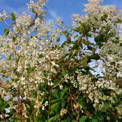Горец бальджуанский, или гречишка бальджуанская Fallopia baldschuanica, Polygonum baldschuanicum 5okt18 viby www.florapassionis.com