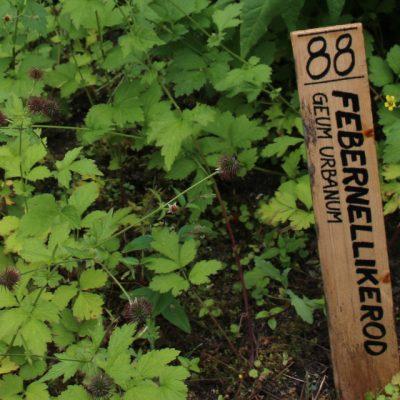 Гравилат городской, Geum urbanum 17jun18 Den Gamle By www.florapassionis.com