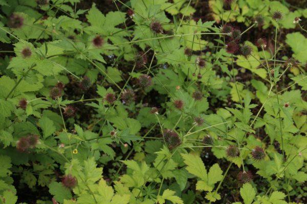 Гравилат городской, Geum urbanum 17jun2018 Den Gamle By www.florapassionis.com