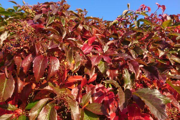 Девичий виноград пятилисточковый Parthenocissus quinquefolia 19sept17 Højbjerg www.florapassionis.com