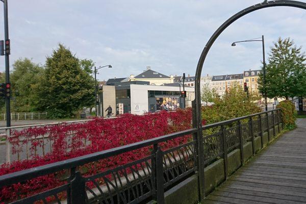 Девичий виноград пятилисточковый Parthenocissus quinquefolia 21sept17 Aarhus www.florapassionis.com