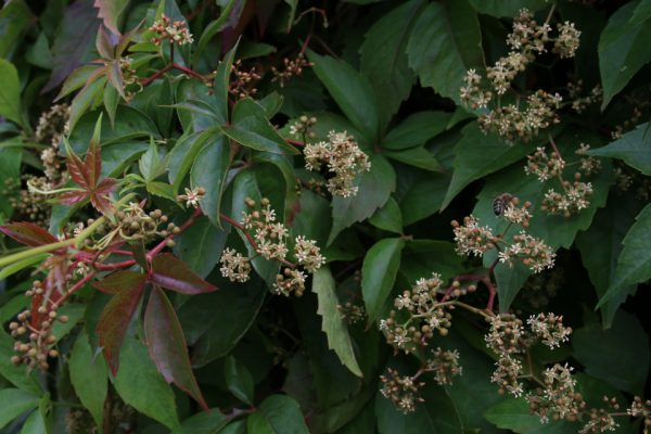 Девичий виноград пятилисточковый Parthenocissus quinquefolia 9aug17 Højbjerg www.florapassionis.com