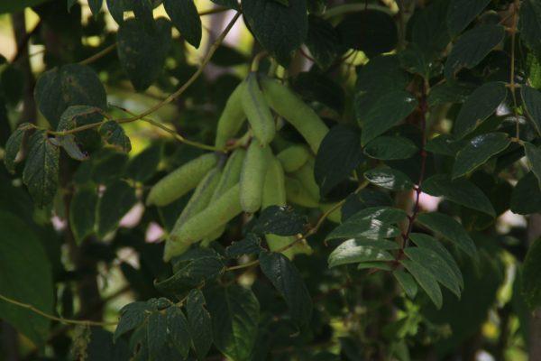 Декенея Фаргеза, синее сосисочное дерево, Decaisnea Fargesii 9aug17 bothavaar www.florapassionis.com