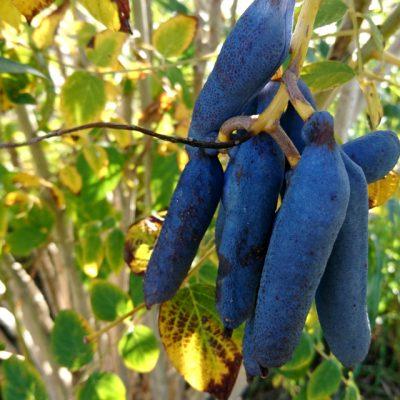 Декенея Фаргеза, синее сосисочное дерево, Decaisnea Fargesii 9okt17 bothavaar www.florapassionis.com