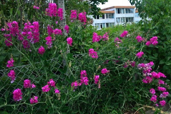 Душистый горошек Lathyrus odoratus 10jul17 holme www.florapassionis.com