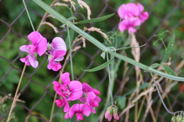 Душистый горошек Lathyrus odoratus 18jul17 www.florapassionis.com