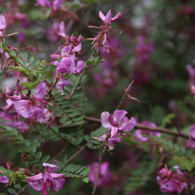 Индигофера красильная, Indigofera tinctoria 17jun2018 bothavaar www.florapassionis.com