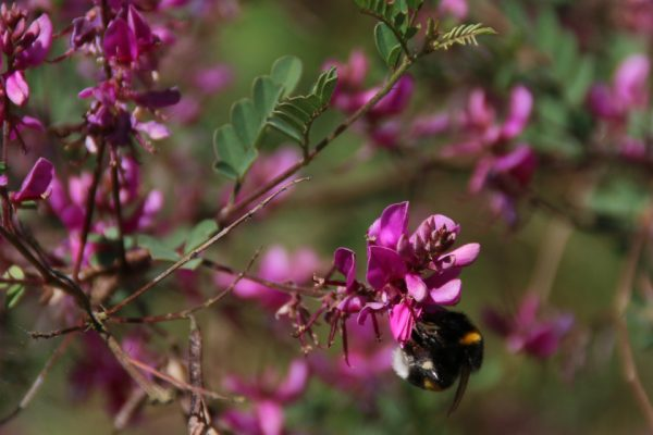 Индигофера красильная Indigofera tinctoria 220618 dringmars www.florapassionis.com
