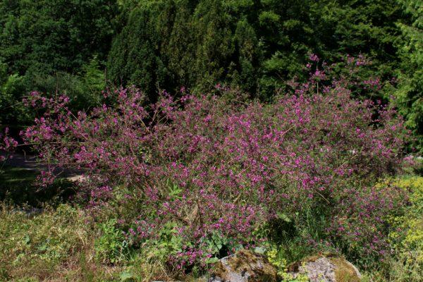 Индигофера красильная Indigofera tinctoria 22jun18 dringmars www.florapassionis.com