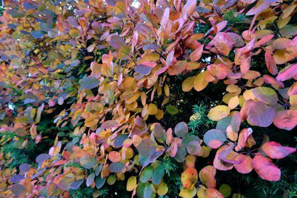 Ирга гладкая, Amelanchier laevis Bærmispel 18okt18 aarhus www.florapassionis.com