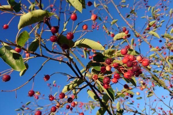Ирга гладкая, Amelanchier laevis Bærmispel 30jun18 rosh viby www.florapassionis.com