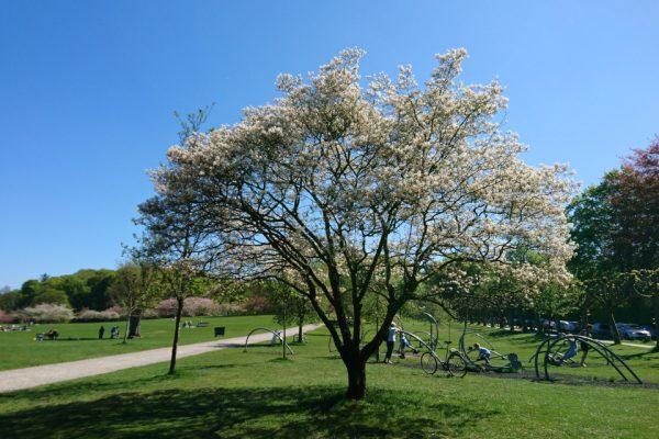 Ирга гладкая, Amelanchier laevis Bærmispel 7may18 aarhus mindp www.florapassionis.com