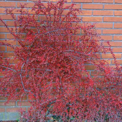 Кизильник горизонтальный Cotoneaster horizontalis 231117 højbjerg www.florapassionis.com