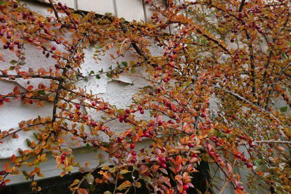 Кизильник горизонтальный Cotoneaster horizontalis 24nov17 højbjerg www.florapassionis.com
