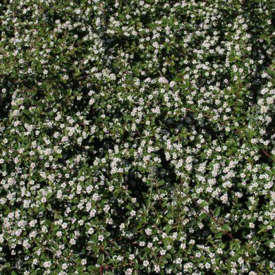 Кизильник горизонтальный Cotoneaster horizontalis24maj18 Viby www.florapassionis.com
