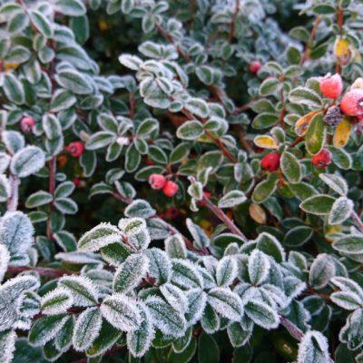 Кизильник заметный Cotoneaster conspicuus 261118 viby www.florapassionis.com