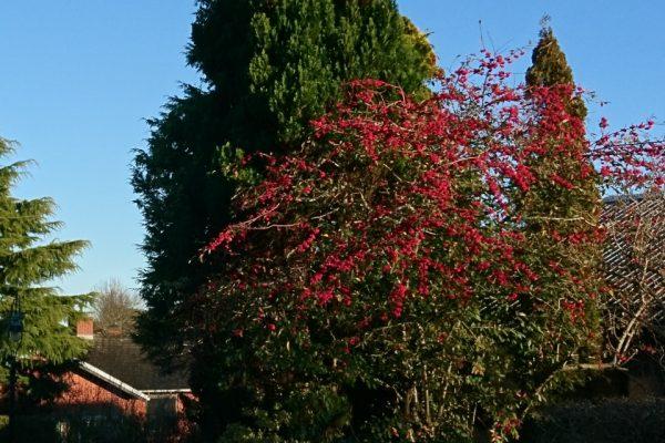 Кизильник иволистный (lat. Cotoneaster salicifolius Højbjerg 12dec17 www.florapassionis.com