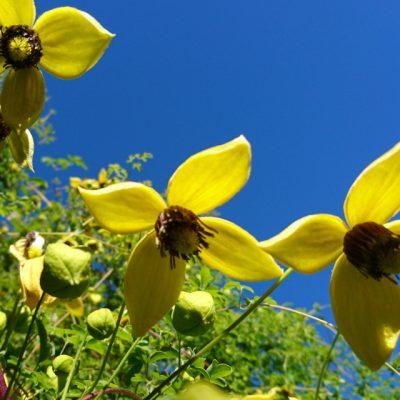 Клематис тангутский, ломонос Clematis tangutica bothavaar 091017 www.florapassionis.com