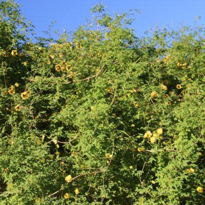 Клематис тангутский, ломонос Clematis tangutica btohavaar 3nov18 www.florapassionis.com