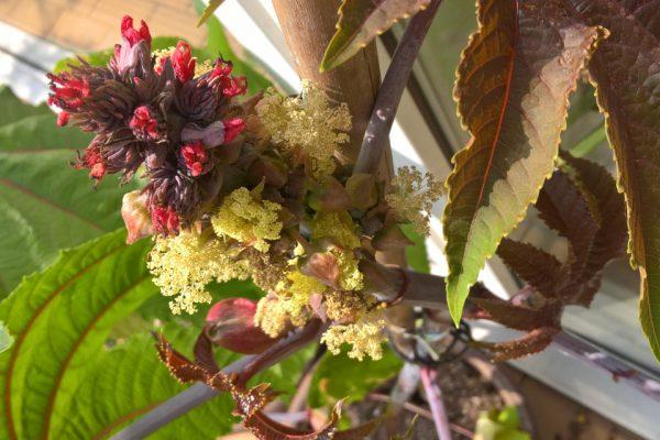 Клещевина обыкновенная Ricinus communis 23maj17 stenoaar www.florapassionis.com