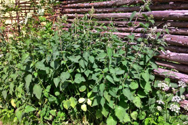 Крапива двудомная, Urtica dioica 16jun17 aarhus www.florapassionis.com