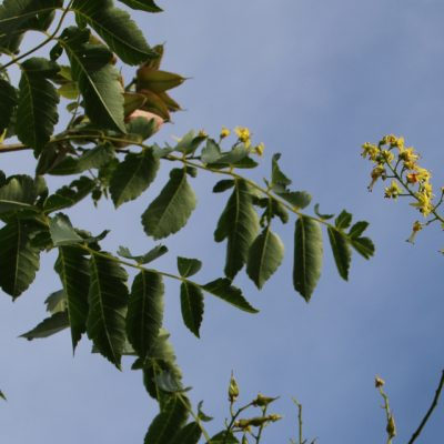 Кёльрейтерия метельчатая, или Мыльное дерево Koelreuteria paniculata 29aug18 my garden www.florapassionis.com
