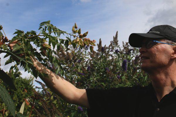 Кёльрейтерия метельчатая, или Мыльное дерево Koelreuteria paniculata 29aug18 www.florapassionis.com