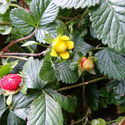 Лапчатка индийская Potentilla indica 21118 my garden www.florapassionis.com