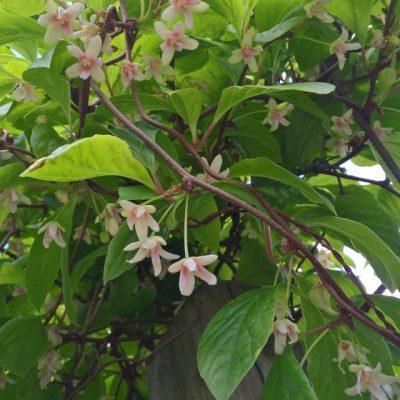 Лимонник китайский Schisandra chinensis 210517 my garden www.florapassionis.com
