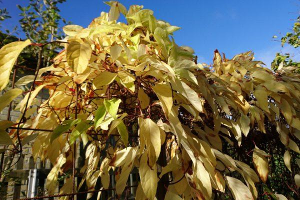 Лимонник китайский Schisandra chinensis 31017 my garden www.florapassionis.com