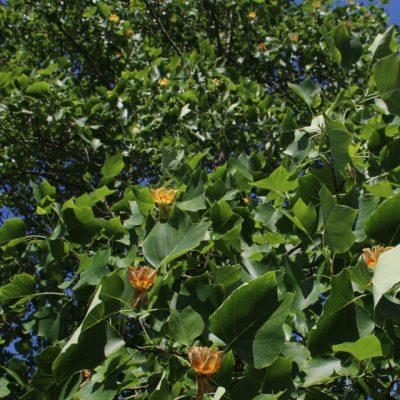 Лириодендрон тюльпановый, тюльпанное дерево, Liriodendron tulipifera 120618 aarshus dgb www.florapassionis.com