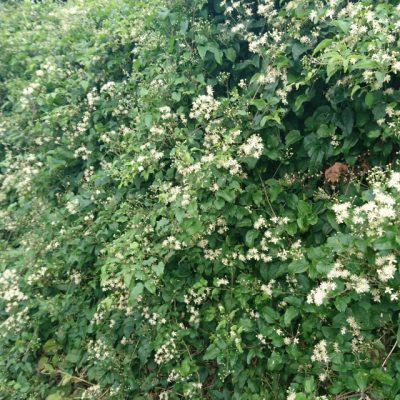 Ломонос виноградолистный, или клематис виноградолистный Clematis vitalba 17aug18 holme www.florapassionis.com
