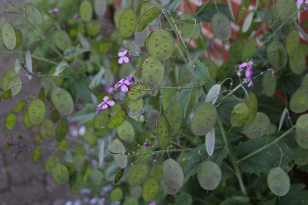 Лунник однолетний, цветок-денежка, лунная трава, Lunaria annua 22may18 my garden www.florapassionis.com
