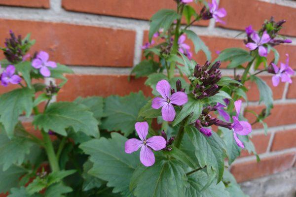 Лунник однолетний, цветок-денежка, лунная трава, Lunaria annua 25apr18 my garden www.florapassionis.com