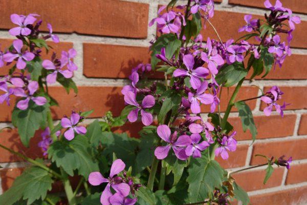 Лунник однолетний, цветок-денежка, лунная трава, Lunaria annua 29apr18 my garden www.florapassionis.com