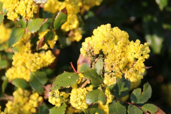 Магония падуболистная, Mahonia aquifolium 20apr14 My garden www.florapassionis.com