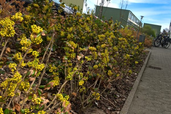 Магония падуболистная, Mahonia aquifolium 3may17 viby sønderh www.florapassionis.com