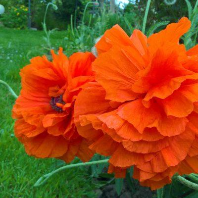 Мак восточный, или Мак малолистный Papaver orientale 230517 my garden www.florapassionis.com