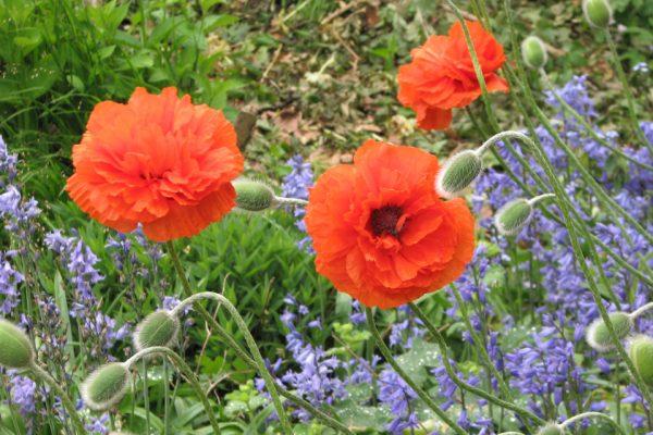 Мак восточный, или Мак малолистный Papaver orientale 29maj11 my garden www.florapassionis.com