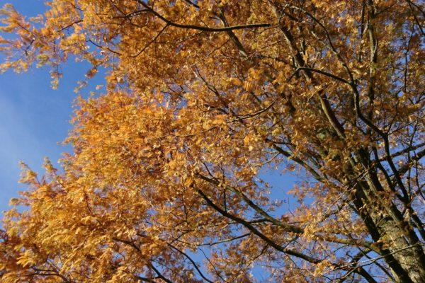 Метасеквойя глиптостробусовая Metasequoia glyptostroboides 13nov2017 Viby www.florapassionis.com