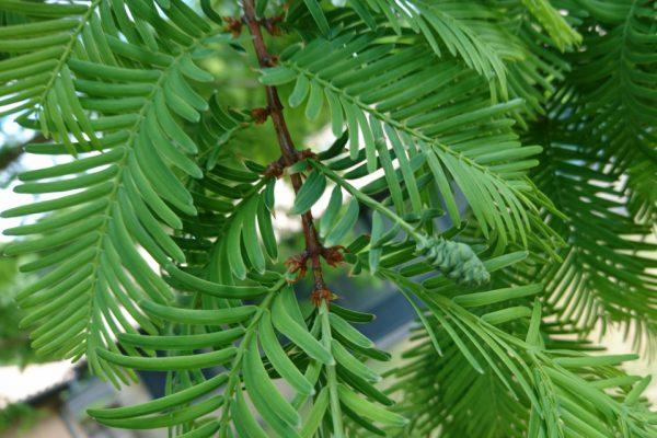 Метасеквойя глиптостробусовая Metasequoia glyptostroboides 150618 Viby www.florapassionis.com