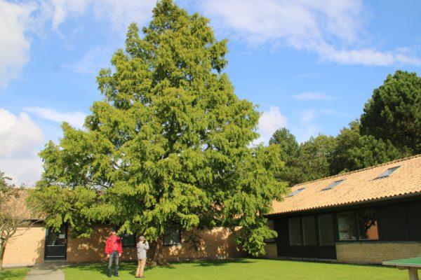 Метасеквойя глиптостробусовая Metasequoia glyptostroboides 19sept17 Viby www.florapassionis.com