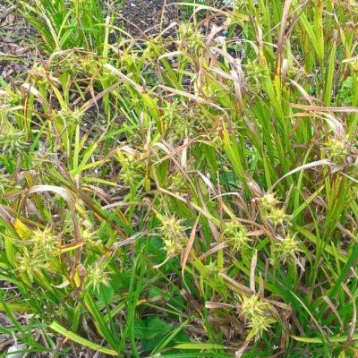 Осока Грея Carex greyi 9aug17 bothavaar www.florapassionis.com